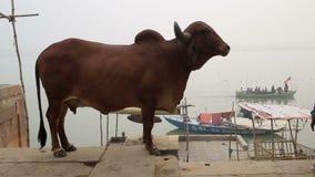 在一ghat的一头圣牛在恒河 股票录像