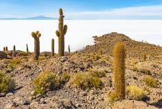 在乌尤尼盐沼盐舱内甲板的巨型阿塔卡马高原仙人掌,玻利维亚 库存图片
