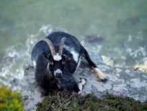 在俯视布里斯托尔湾的峭壁边缘的山羊 免版税库存图片