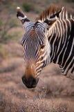 在南部非洲的干旱台地高原的动物 库存图片