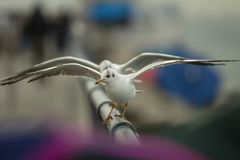 在另一个跳舞的翼前面的两只海鸥一开放在有桃红色紫色和蓝色bokeh的铝篱芭 免版税库存照片