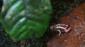 在叶子前面的一点毒物箭青蛙 免版税库存图片