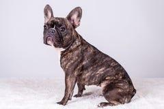 在坐姿的布朗法国牛头犬 免版税库存照片