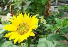 在夏天庭院的背景的开花的向日葵 库存照片