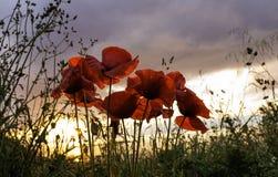 在夏天日落的美丽的开花的鸦片点燃 免版税库存照片