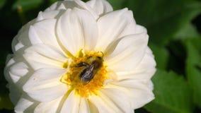 在大丽花花的土蜂