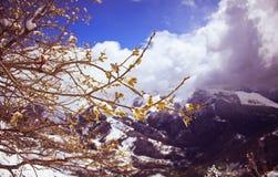 在多雪的山和云彩背景的杨柳分支  免版税库存照片