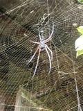 在它的细磨刀石的蜘蛛 免版税库存照片