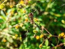 在它的网3的日本gumo蜘蛛 库存图片
