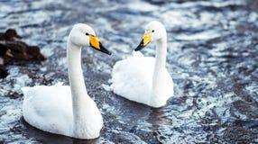 在寒冷冬天小河的两只天鹅 免版税库存图片