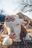 在小牛头的手 免版税库存图片