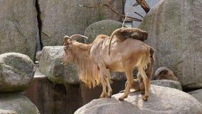 在山羊小山风景的猴子骑马 免版税库存图片