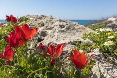 在岩石的郁金香 免版税图库摄影