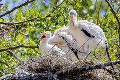 在巢的愉快的婴孩木头鹳 免版税库存图片