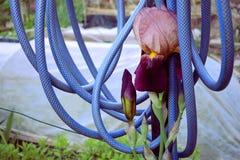 在庭院的紫罗兰色花 库存照片