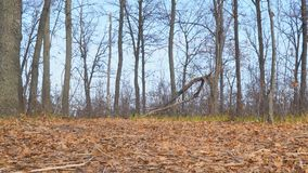 在地面上的干燥秋叶和反对天空蔚蓝的罕见的光秃的树 股票视频