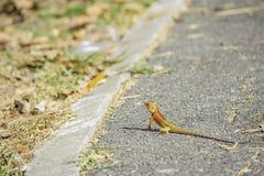 在地面沥青背景被弄脏的草的变色蜥蜴桔子 免版税库存照片