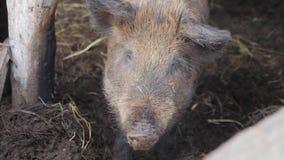 在动物农场的野公猪 大野公猪女性 股票视频