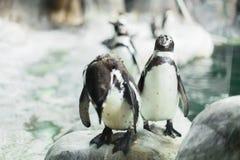 在动物园里凝视与其他企鹅的照相机的一只企鹅 库存照片