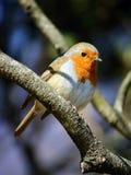 在分支的小鸟 免版税库存图片