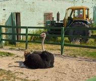 在农场的驼鸟 免版税库存照片