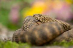 在捷克把蛇Natrix tessellata切成小方块 免版税图库摄影