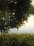 在杨柳灌木下的半闭的蒲公英花反对湖 库存图片