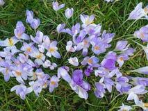 在植物群的紫罗兰色花在科隆,德国,是第一棵开花的植物在春天 免版税库存图片