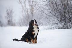 在步行的伯纳Sennenhund大狗在冬天风景 图库摄影