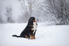 在步行的伯纳Sennenhund大狗在冬天风景 库存照片