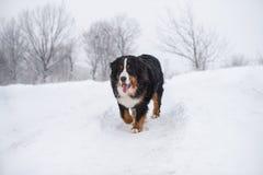 在步行的伯纳Sennenhund大狗在冬天风景 免版税图库摄影