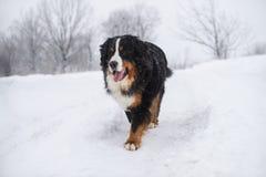 在步行的伯纳Sennenhund大狗在冬天风景 库存图片
