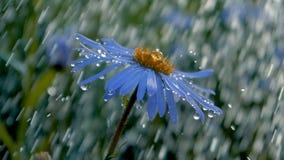 在水下下跌的滴的大蓝色雏菊在庭院在夏天在slo mo 股票视频