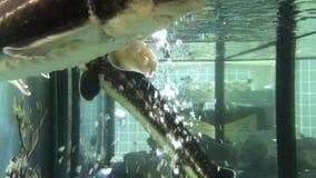 在水族馆001的鲟鱼 股票视频