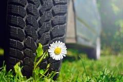 在汽车的轮子的下白花 免版税图库摄影