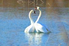 在求爱的天鹅在湖 免版税库存图片