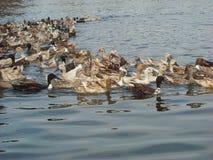 在河的很多鸭子 免版税库存图片