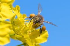 在油菜花的蜂蜜蜂 免版税库存照片
