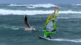 在海鸥和风帆冲浪者之间的风雨如磐的竞争 免版税库存照片