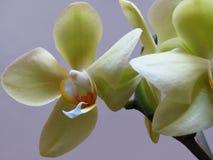在浅紫色的背景的白色和黄色兰花束 叫作飞蛾的兰花植物 免版税图库摄影