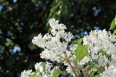 在深绿背景的白色丁香在一个明亮的晴朗的春日 库存图片