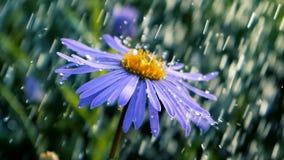 在淋浴下水torents的蓝色雏菊花在夏天在slo mo 股票录像