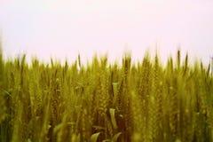 在清楚的天空的金黄麦田 免版税库存图片