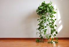 在木地板上的一棵盆的植物有白色墙壁背景 免版税库存图片