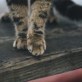 在木板的猫爪子 库存图片