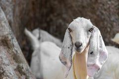 在有长的耳朵和毛皮的有被隔绝的背景在草原吃草在国家边的印度非洲人的山羊 免版税库存照片