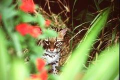 在掩藏的豹猫 库存图片
