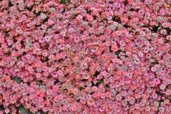 在春天的Kalanchoe Blossfeldiana与自然 免版税库存照片