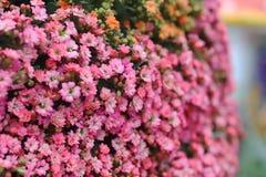 在春天的Kalanchoe Blossfeldiana与自然 库存图片
