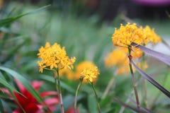 在春天的Kalanchoe Blossfeldiana与自然 库存照片
